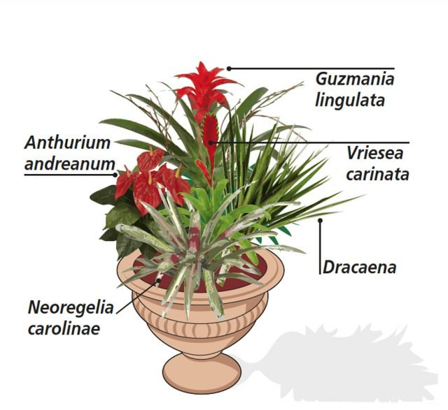 1. Un abbinamento molto gradevole sui toni del rosso, può essere fatto accostando una pianta di Anthurium andreanum (famiglia delle Araceae) con Guzmania lingulata, Vriesea carinata e Neoregelia carolinae (queste ultime tre appartengono tutte alla famiglia delle Bromeliaceae), tutte dotate di un bel fogliame verde, di contorno al rosso vivo del fiore. Possono essere collocate nella ciotola con una Dracaena marginata, dalle foglie con bordi rossi.