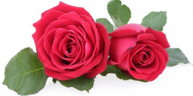 Piantare le rose correttamente