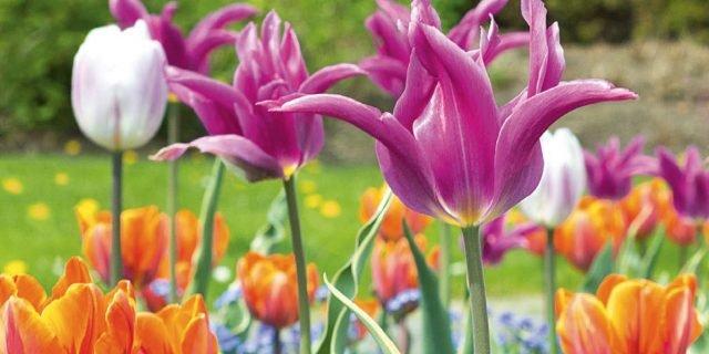 Piantare i tulipani per le fioriture primaverili