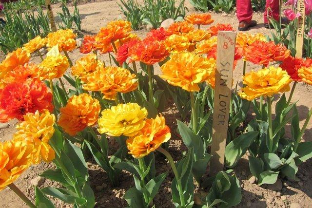 Sun Lover, i fiori sono un mix di giallo e arancione