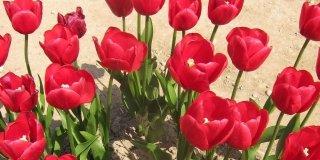 È il momento di piantare i tulipani