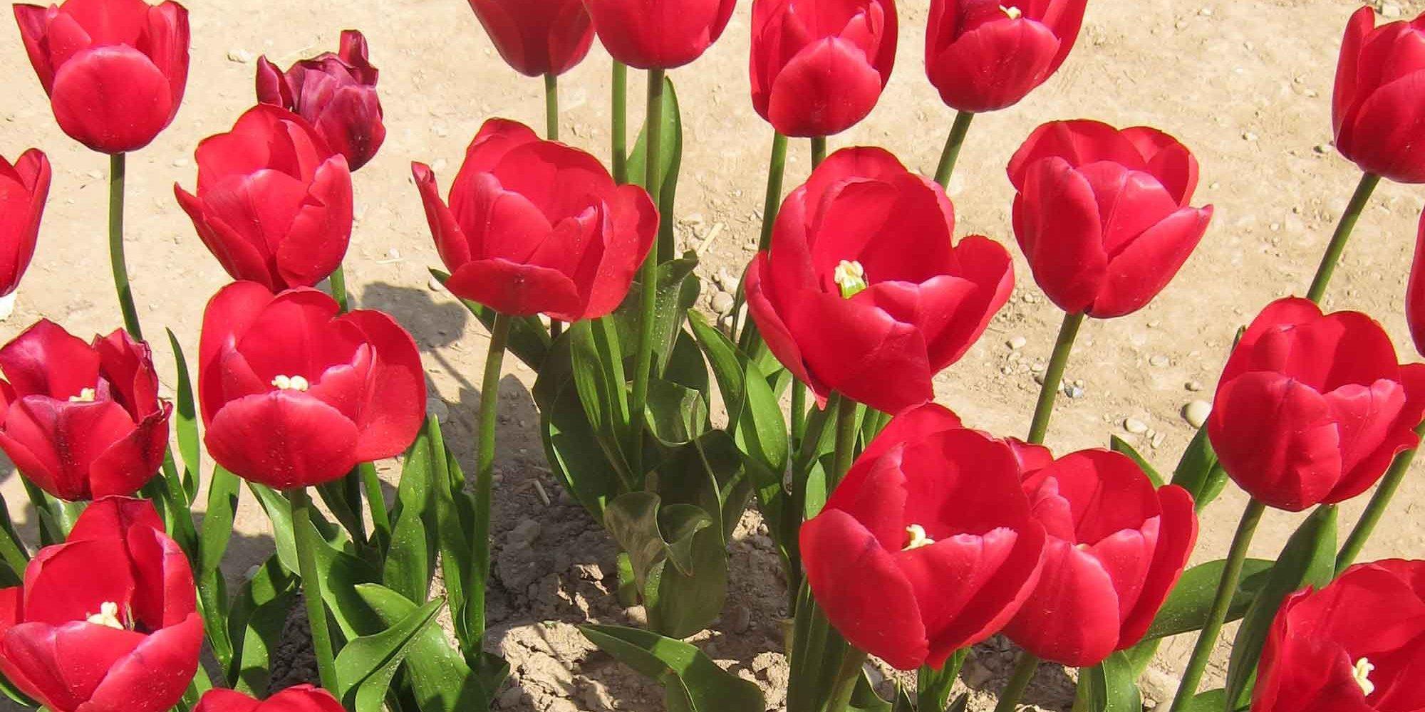 Piantare I Bulbi Di Tulipani piantare i tulipani in autunno per fioritura in primavera