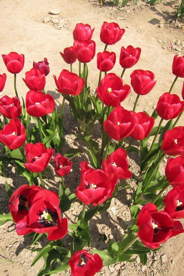 Unique de France, rosso con foglie splendida verde, Tutti i tulipani hanno uno strato di cera grigio-blu sulle foglie, ma questo tulipano no.JPG