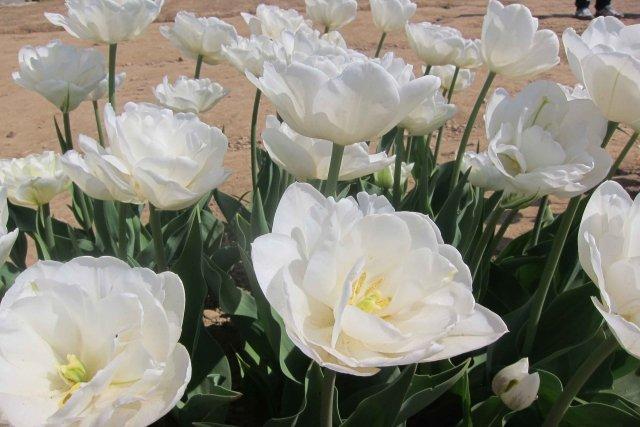 White Heart, doppio e vero bianco, bellissimo!