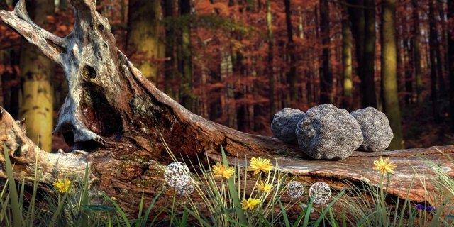 Coltivare i tartufi nel proprio terreno