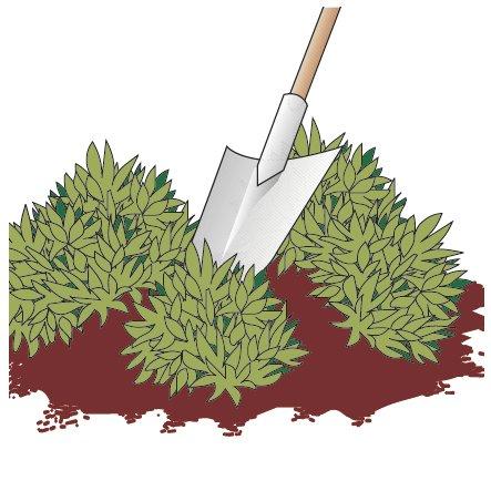 2. Con la lama della vanga tagliare in più porzioni la pianta.
