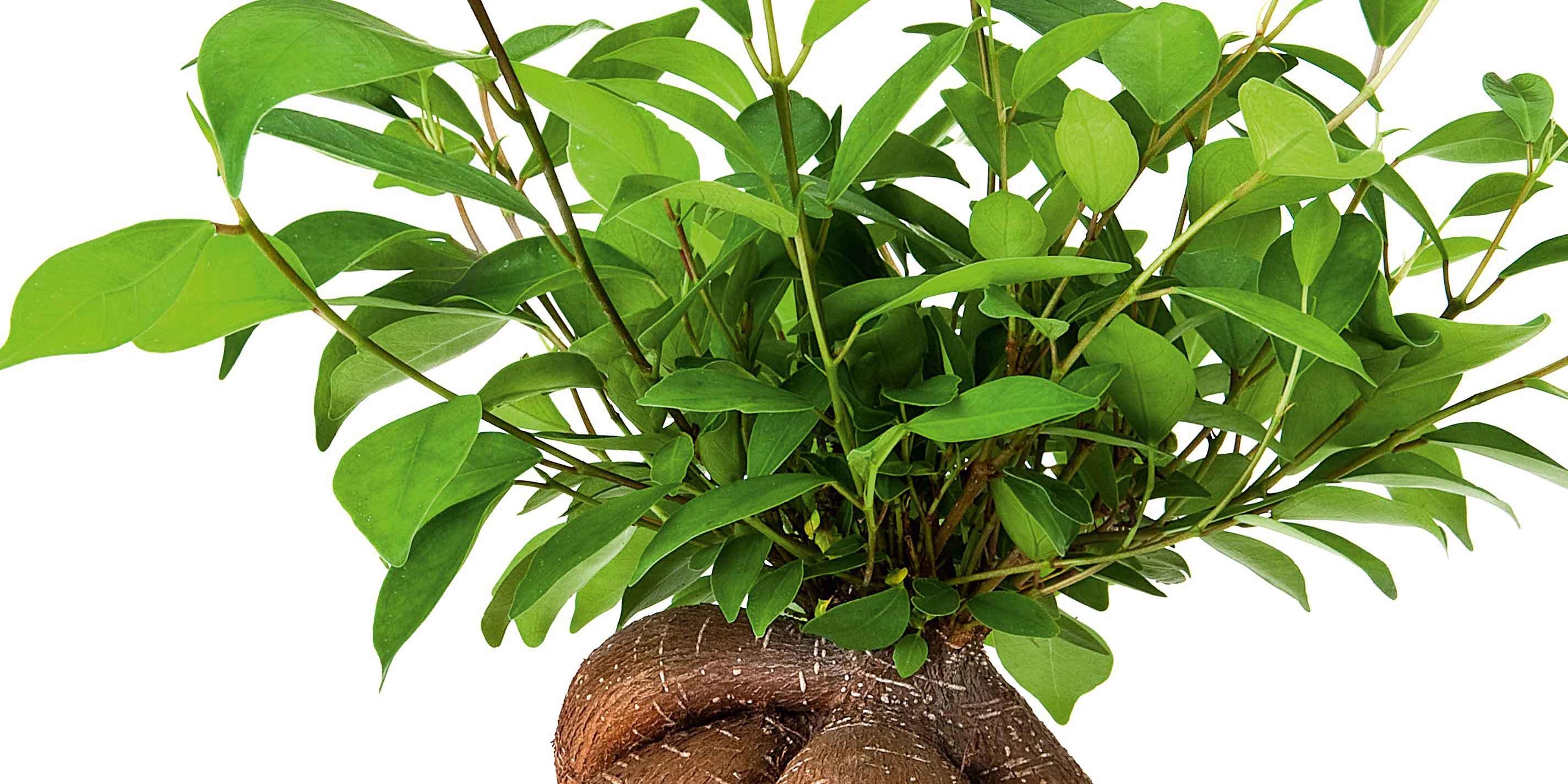 Come Riprodurre Il Ficus Benjamin ficus da interni casa sempre rigogliosi: elenco specie, cure