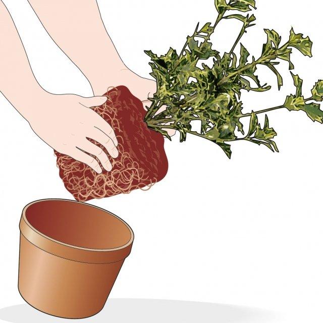 1. Estraete la pianta dal contenitore in cui si trova.