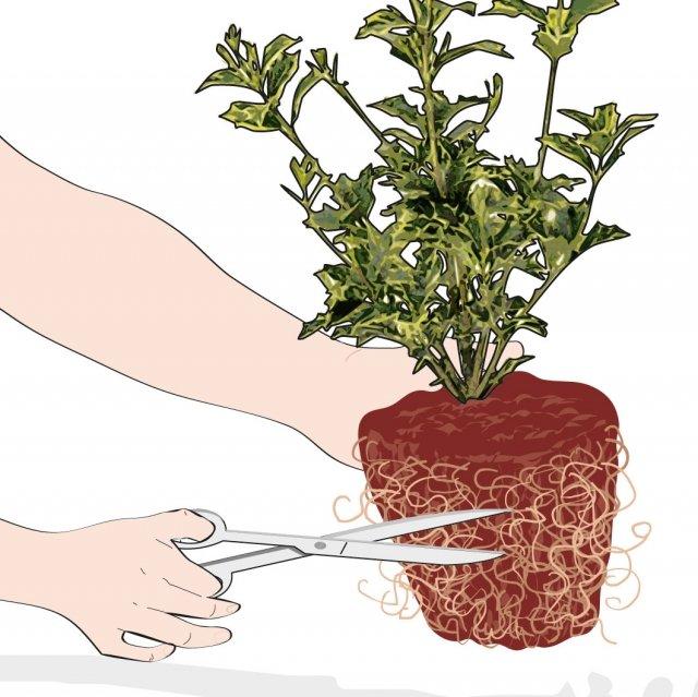 """2. Se le radici sono troppo compatte, tagliate quelle più esterne ed eliminatele, per liberare il """"cuore"""" del pane di terra."""
