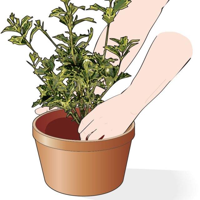 5. Poi mettete uno strato di terra, posizionate la pianta al centro e riempite tutto il vaso fino a 2-3 centimetri dal bordo.