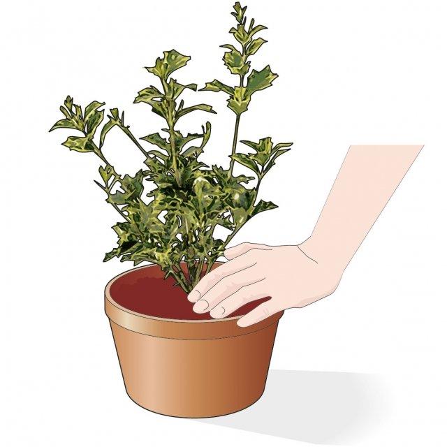 6. Compattate bene il terriccio tutt'attorno alle radici per evitare che rimangano sacche d'aria.