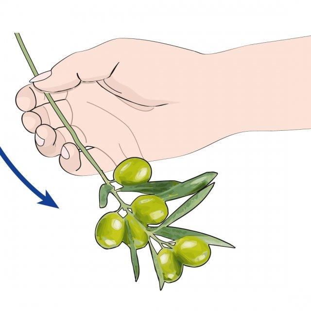 1. Con la mano semichiusa, si sfrusciano i rami carichi di drupe.