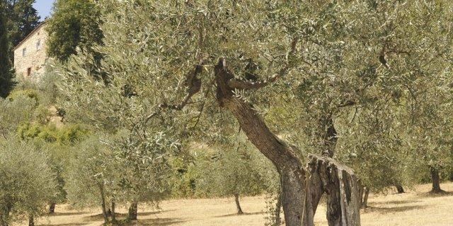 La raccolta delle olive è sempre manuale