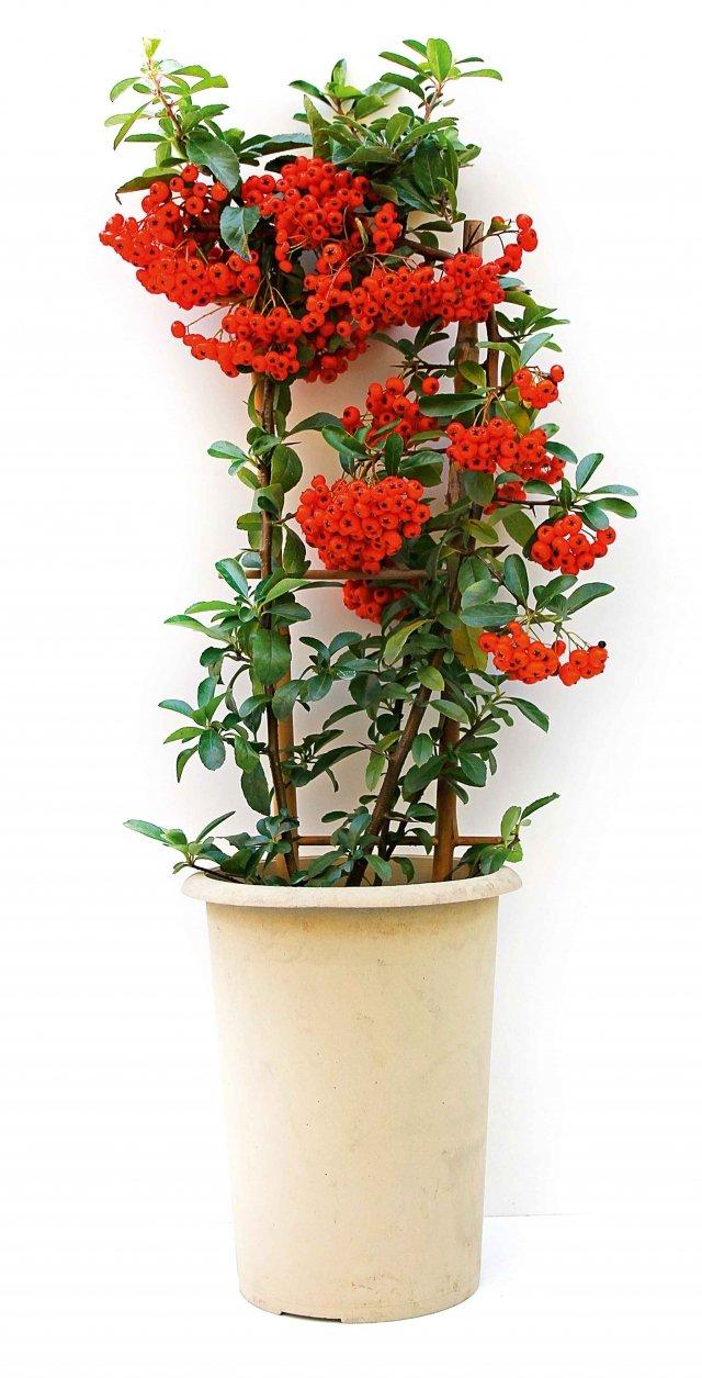 15 euroPerfetta in vaso come dono nataizio, può restare in casa solo per il periodo delle feste. Poi è consigliabile spostarla all'aperto, sul balcone o in terrazzo. Le prime a comparire sono state le piracantha a spalliera ma oggi troviamo anche gli archetti, grazie ai vivai olandesi Van der Sar-Vermaat, noti produttori, anche se non gli unici, di piccole piante di Pyracantha allevate in forma. La pyracantha per le sue bacche colorate, resistenti, numerose senza mai essere sovrabbondanti è una pianta decorativa che si inserisce a pieno titolo in quelle utilizzabili come decoro, e quindi anche come dono, per il Natale. Resistenti al gelo anche in vaso, al termine delle festività possono essere gradatamente spostate all'esterno per ravvivare davanzale e balcone. Si bagnano con regolarità, si pongono sia in pieno sole sia in mezzombra anche se qui fruttificheranno di meno e i colori saranno meno accesi, si fertilizzano in primavera e autunno con un fertilizzante NPK equilibrato, si possono allevare sia in forma libera, togliendo gli attuali supporti, o su un graticcio per indirizzarne la forma. Per le spine lunghe e robuste non è adatta dove ci sono bambini.