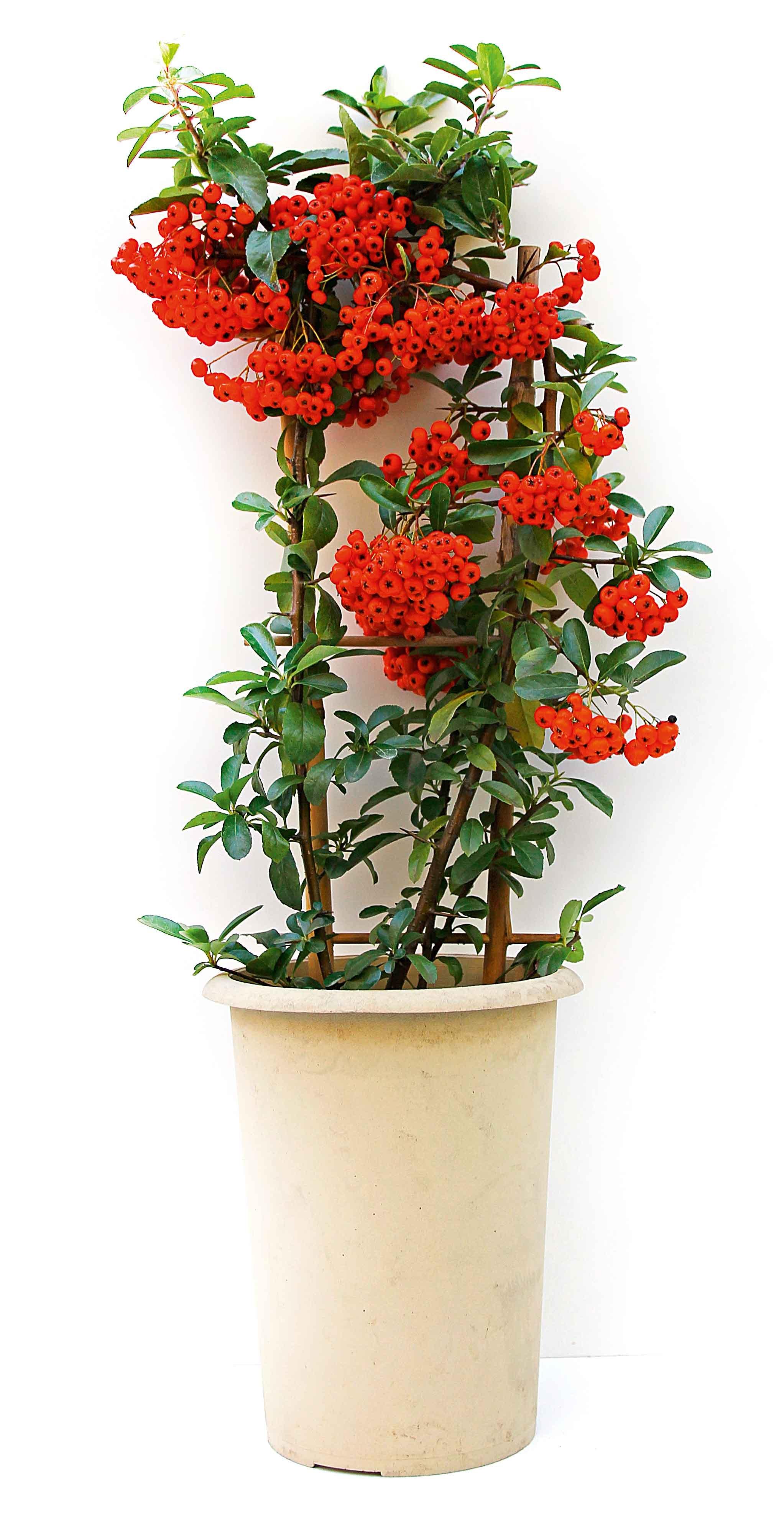 Le piante da regalare a Natale per casa - Cose di Casa