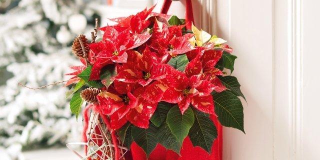Le piante da regalare a Natale