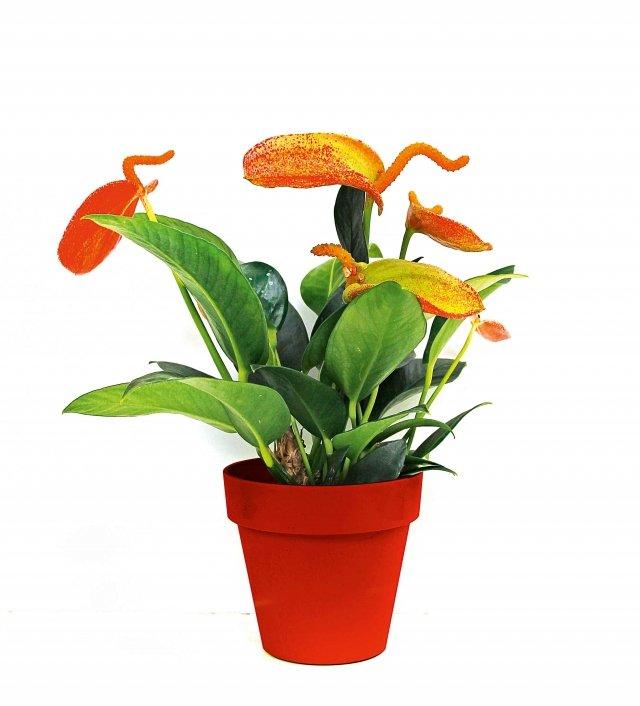 7 euroPianta di dimensioni ridotte ma molto fiorifera, ha colori imprevedibili. 'Amaretti', marchio registrato, è una selezione di Anthurium scherzerianum. Di dimensioni contenute, robusto e coloratissimo, è proposto in vasi di piccolo diametro nonostante sviluppi una buona vegetazione, consentendo così di affiancarne anche più d'uno all'interno di una ciotola. Le brattee presentano, in aggiunta, uno spadice, proporzionato spesso arricciato in forma estrosa. La pianta è molto fiorifera e le infiorescenze sono molto durature. Le brattee colorate hanno una screziatura ricca e imprevedibile che mescola l'arancio, il giallo, il verde e il rosso, quasi si trattasse davvero del ripieno di un dolce d'alta pasticceria. Richiede abbondante luce diffusa e mai diretta, bagnature regolari, ogni tre giorni con acqua dolce e non fredda, in quantitativi moderati.