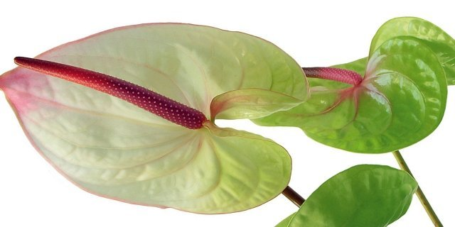 Anthurium, la pianta che arreda