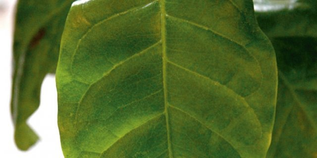 Coffea arabica, pianta del caffè