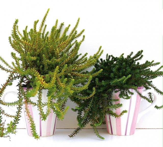 """7 euro Empetrum nigrum è una pianta che non sempre è facile trovare nei garden italiani (per questo anche più interessante), che spesso viene proposta come erica o calluna per la somiglianza della struttura. A un'osservazione più attenta la struttura generale, con le foglie disposte a manicotto continuo sui rami sottili, e le foglie, più consistenti e spesse, si differenziano nei due generi. Conosciuto anche come """"mortella"""", Empetrum nigrum in vaso di rado produce i caratteristici frutti di colore nero, pronti a giugno, simili al mirtillo, velenosi. Coltivata attivamente nei paesi del Centro Europa è da lì che spesso arriva sui nostri mercati. Qui è proposta in due tazze che potranno essere riutilizzate: il regalo ideale per una coppia, amici giovani e ironici. La pianta desidera un terreno acido, bagnature regolari per mantenere il terriccio più che umido, ed esposizione in piena luce. I diversi individui presentano spesso tonalità di colore diverso e forme più o meno regolari per l'allungarsi in modo differente dei diversi rami."""