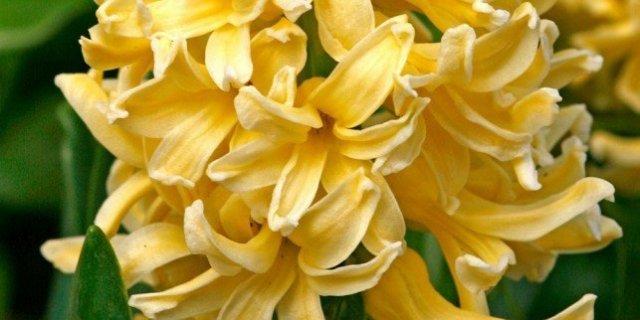 Hyacintus orientalis – giacinto