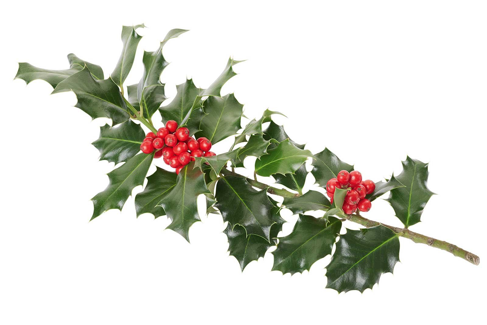 agrifoglio pianta con le bacche rosse d 39 inverno cose di casa. Black Bedroom Furniture Sets. Home Design Ideas