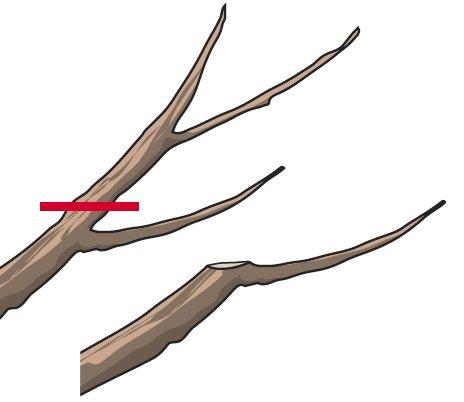1. Si elimina l'apice lasciando però un nuovo ramo, uno solo, a proseguire lo sviluppo della branca. In questo modo le dimensioni della pianta, una volta raggiunto lo sviluppo desiderato, resteranno quasi invariate.