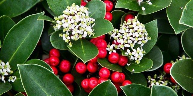 Skimmia in vaso: bacche rosse ormentali