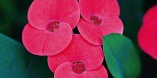Euphorbia milii, euforbia
