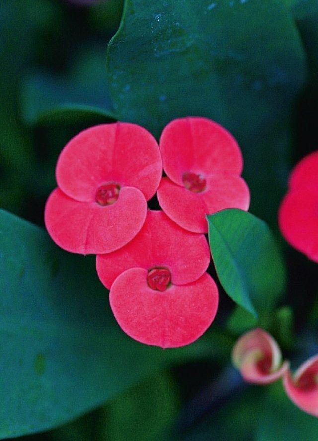 Euphorbia-milii
