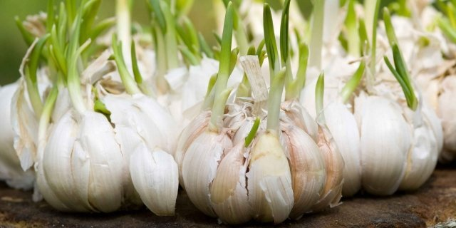Mettere a dimora l'aglio
