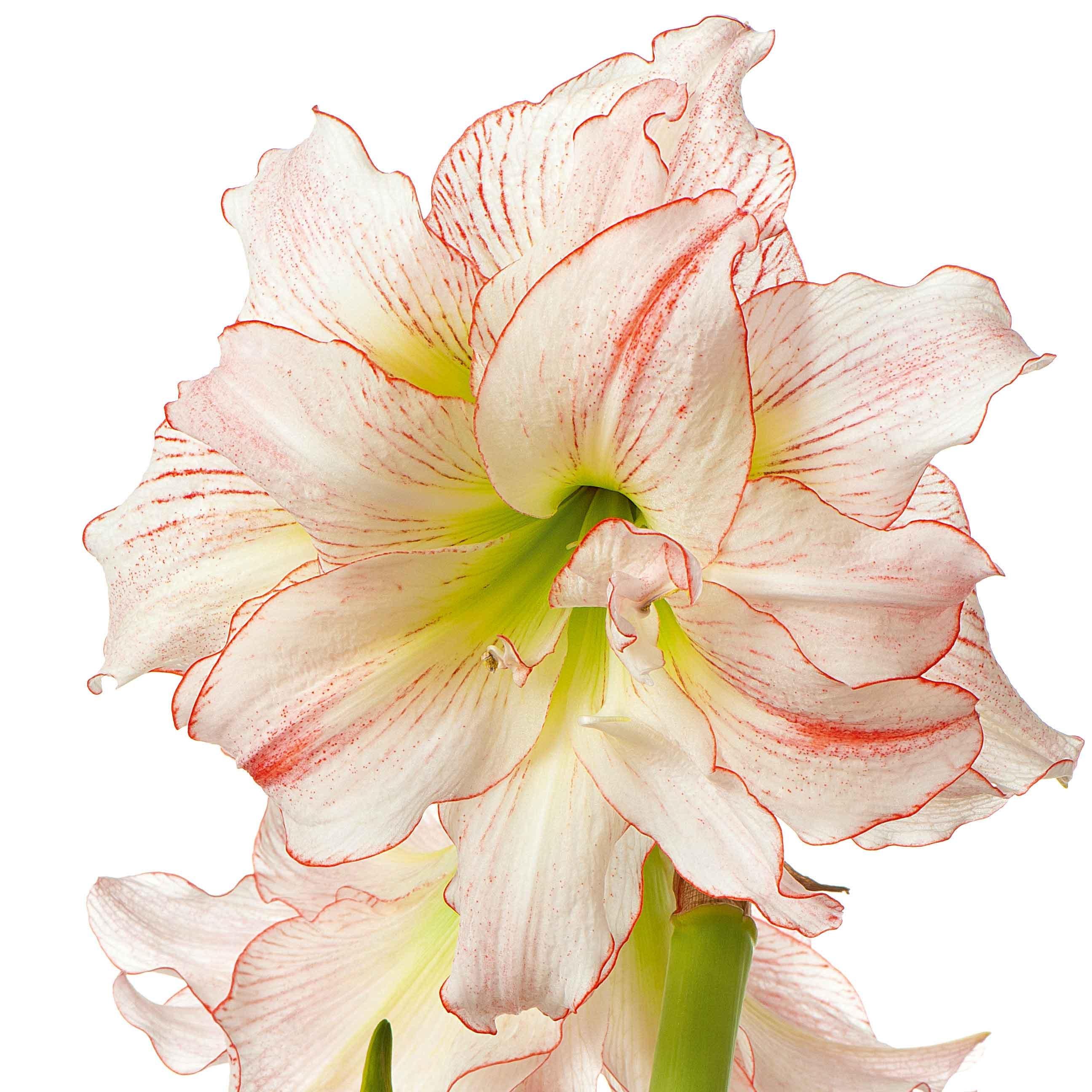 Come Seccare Le Piante gloriosa, amaryllis, clivia: piante fiorite in casa in