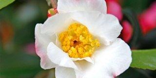 Camellia sasanqua 'Hino de Gumo' – camelia invernale
