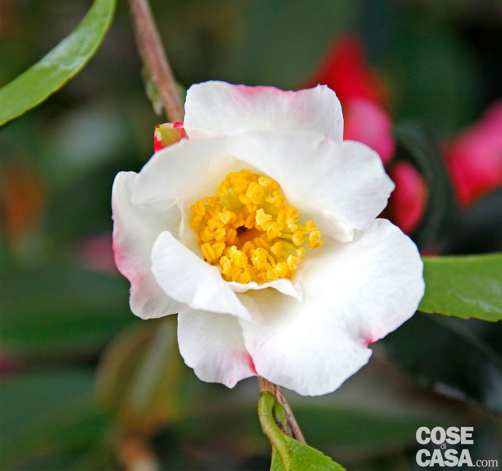 Camellia sasanqua hino de gumo camelia invernale for Camelia fioritura