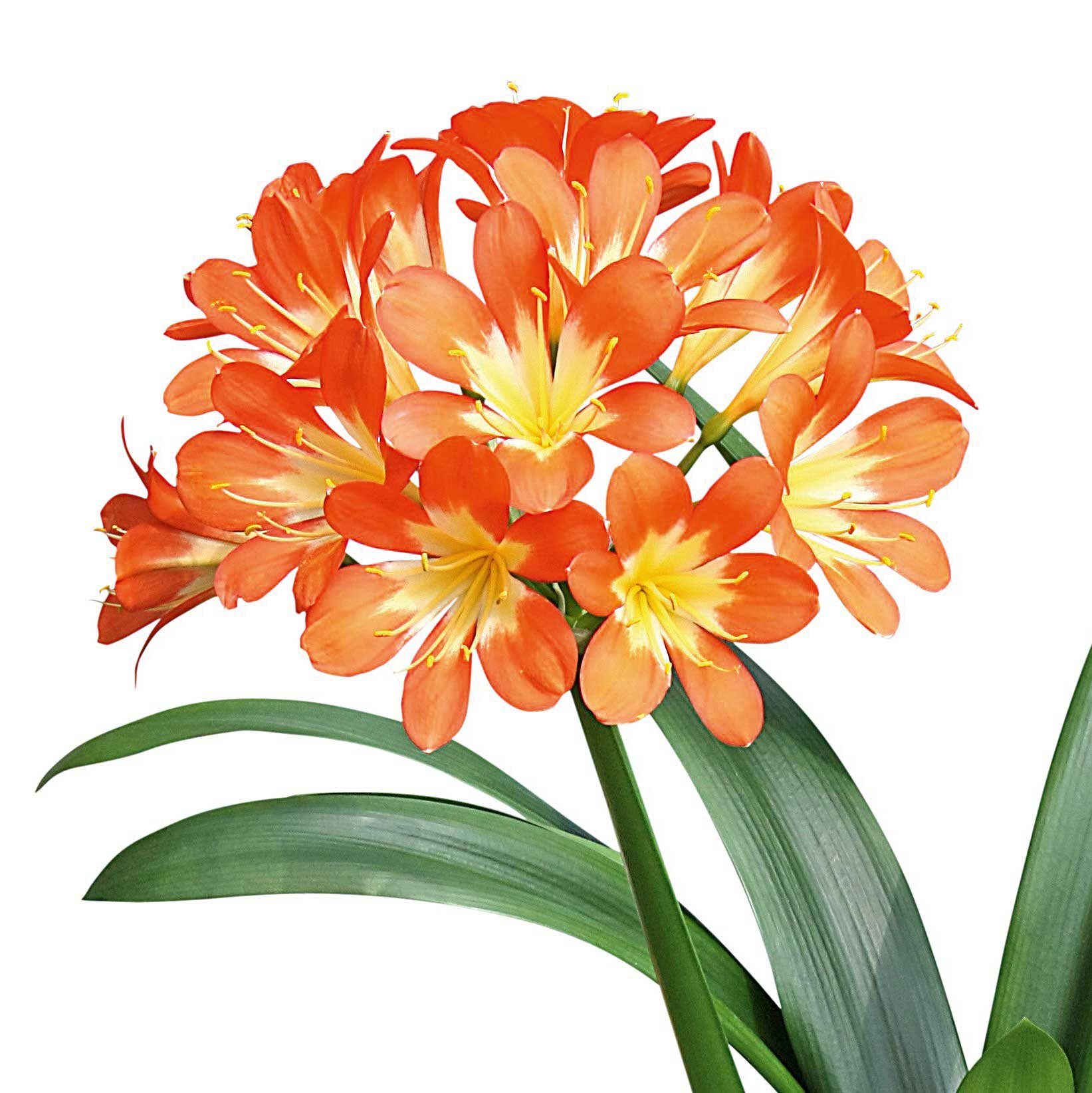 Piante Adatte Al Sole Diretto gloriosa, amaryllis, clivia: piante fiorite in casa in