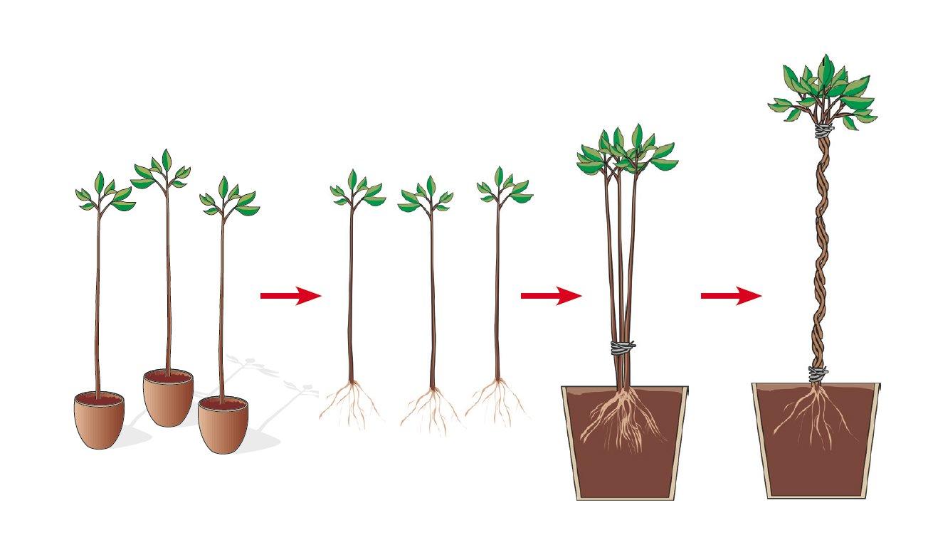 Come Riprodurre Il Ficus Benjamin piante dal fusto intrecciato: come crearle da fusti singoli