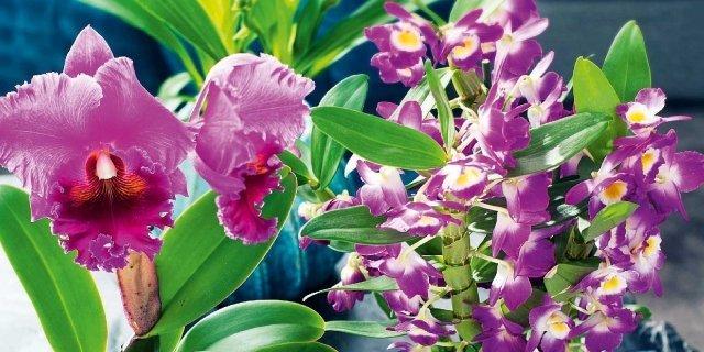Orchidee fiorite in casa adesso