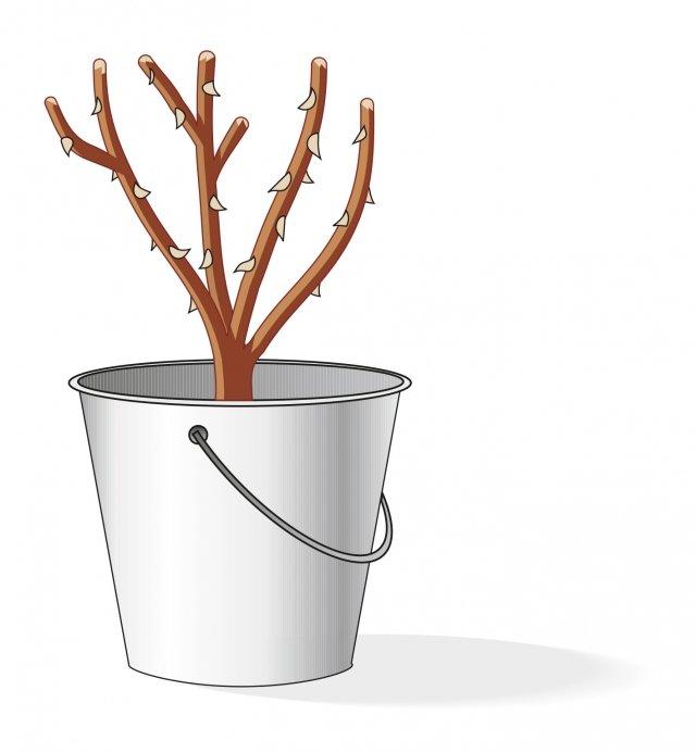 Un paio d'ore prima del rinvaso, la pianta va liberata dall'imballo che avvolge le radici e tenuta entro un secchio contenente acqua e terriccio mescolati fino ad ottenere una consistenza densa. In questo modo le radici riprendono ad assorbire elementi nutritivi e si rinvigoriscono prima del trapianto in vaso. È utile anche una leggera spuntatina delle radici più lunghe e deboli, da eseguire con le forbici da potare (ben pulite ed affilate), prima dell'operazione.