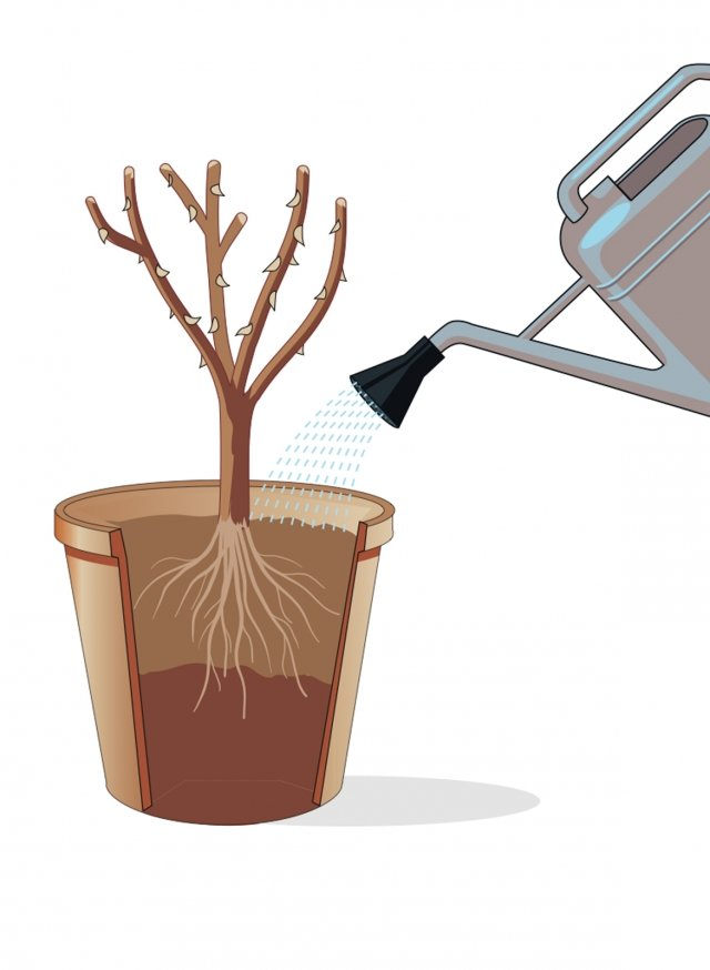 """La rosa è ora pronta a essere sistemata nel suo nuovo alloggio: tenendola dritta con le mani (l'utilizzo di guanti aiuterà a non pungersi!) al centro del vaso con le radici appoggiate sulla montagnola di terra, si procede riempiendo il vaso con ulteriore terriccio, fino ad arrivare in cima. Attenzione a non interrare anche il fusto della rosa; il """"colletto"""" (cioè la zona di confine tra apparato radicale e fusto) della pianta deve essere appena al di sopra della superficie. La terra va quindi premuta e compattata con le mani. Infine si annaffia abbondantemente."""