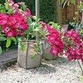 rose a radice nuda