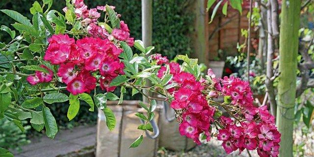 Preparare i vasi con le rose a radice nuda