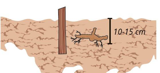 2. I tuberi di topinambur vanno interrati alla fine dell'inverno, da febbraio  a maggio, per avere un buon raccolto l'inverno successivo. Mettere in terra il tubero con i germogli rivolti verso l'alto, a una profondità di 10 15 cm.