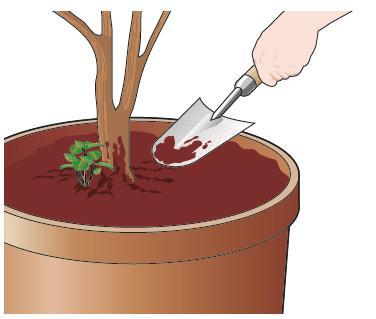 5. Ripulire anche il terriccio superficiale dei vasi alla base degli arbusti cercando di eliminare le erbe infestanti