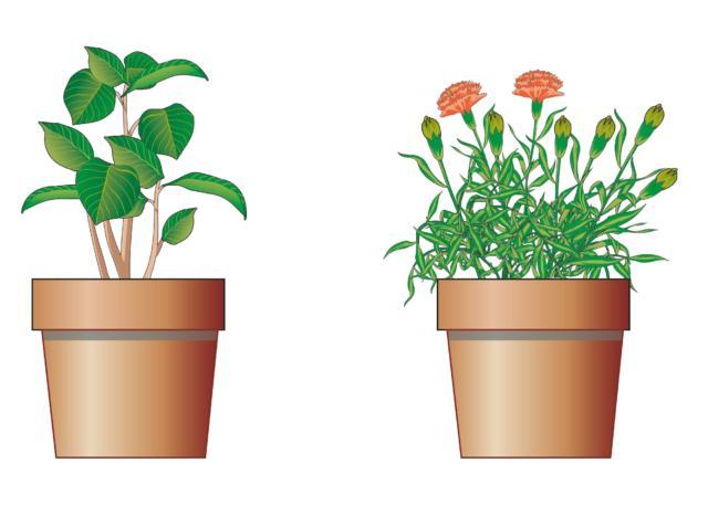 2. Se valutiamo una pianta verde, controlliamo che gli steli non siano afflosciati, ma ricchi d'acqua e ben dritti. Se scegliamo piante fiorite, si faccia attenzione che i fiori siano novelli, o ancora da schiudersi, altrimenti avranno una breve durata e una scarsa adattabilità.