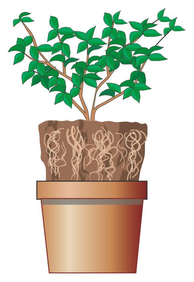 4. Provare a sfilare il pane radicale dal vaso d'acquisto. Se l'aspetto è florido ma le radici sono arrotolate sul fondo in un'intricata spirale vuol dire che la pianta andrà trapiantata rapidamente in un vaso di dimensioni maggiori ma potrà presentare in questo caso problemi di attecchimento. Se il vaso non si sfila vuol dire che la pianta è invecchiata in vaso.