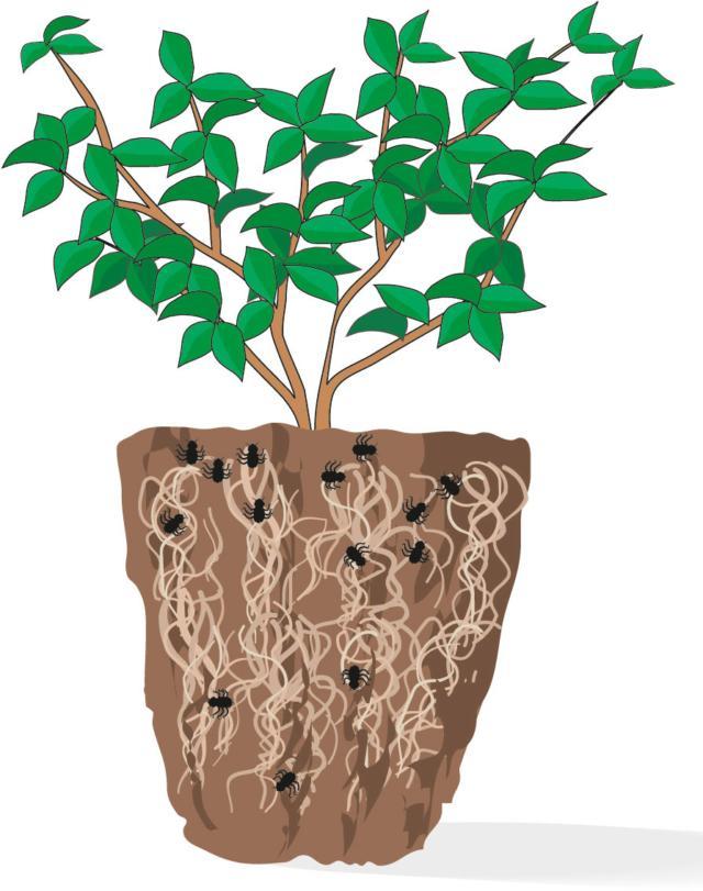 5. Se sfilando il pane radicale notate l'eventuale presenza di insetti oppure è in stato di disidratazione, la pianta non avrà lunga vita. Meglio evitare l'acquisto.