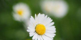 """""""Margherita per AIRC"""": il fiore simbolo della purezza diventa solidale"""