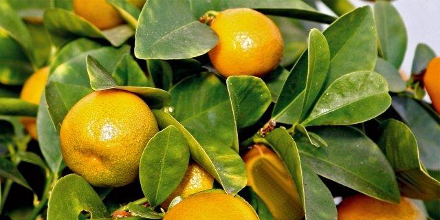 Fortunella margarita – Kumquat