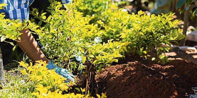 Sostituire una pianta della siepe
