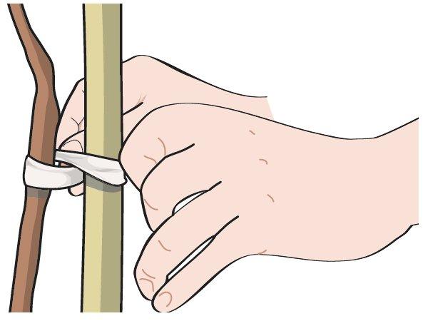 """La legatura corretta della pianta al tutore si deve effettuare incrociando il filo tra pianta e tutore in modo da prevenire lo sfregamento della giovane corteccia contro la superficie del palo; la legatura è chiamata a """"8"""", deve essere sufficientemente morbida da permettere piccoli movimenti della pianta e non deve ostacolarne la crescita."""